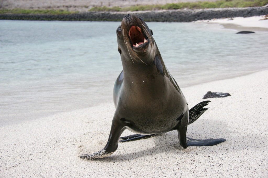 Sea lion attacking me on the beach