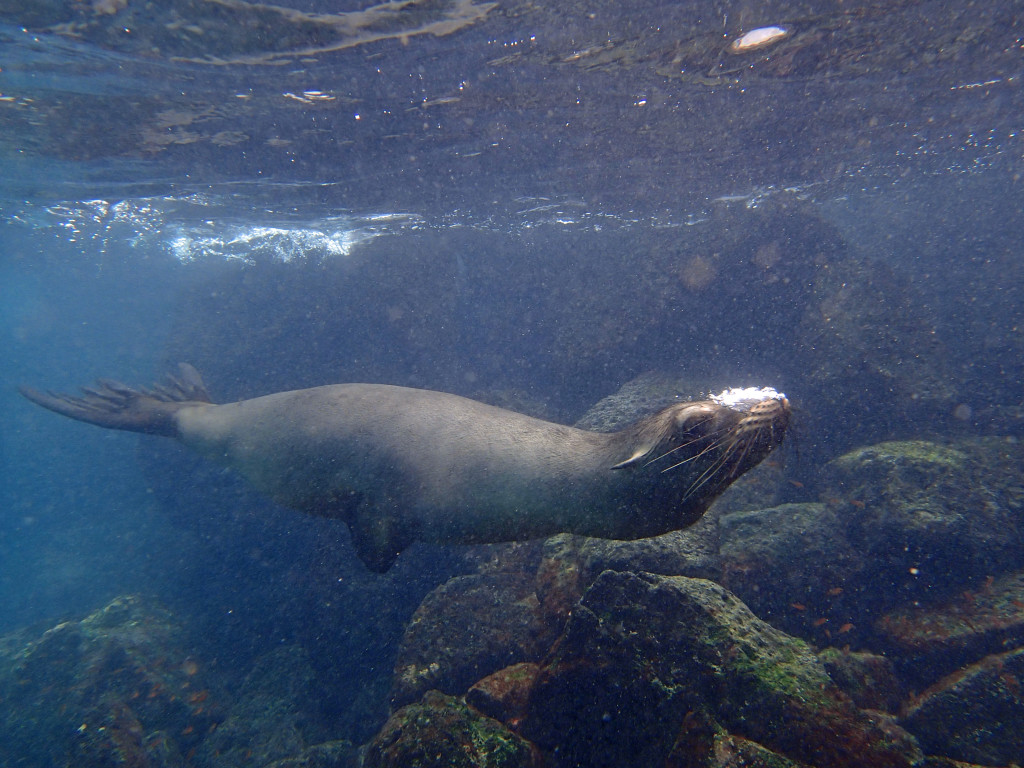 Swimming with the sea lions