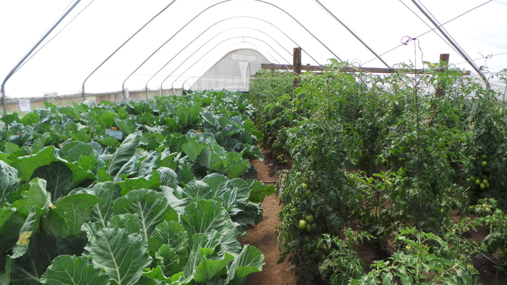 Greenhouse with kale on the left and tomatoes on the right.