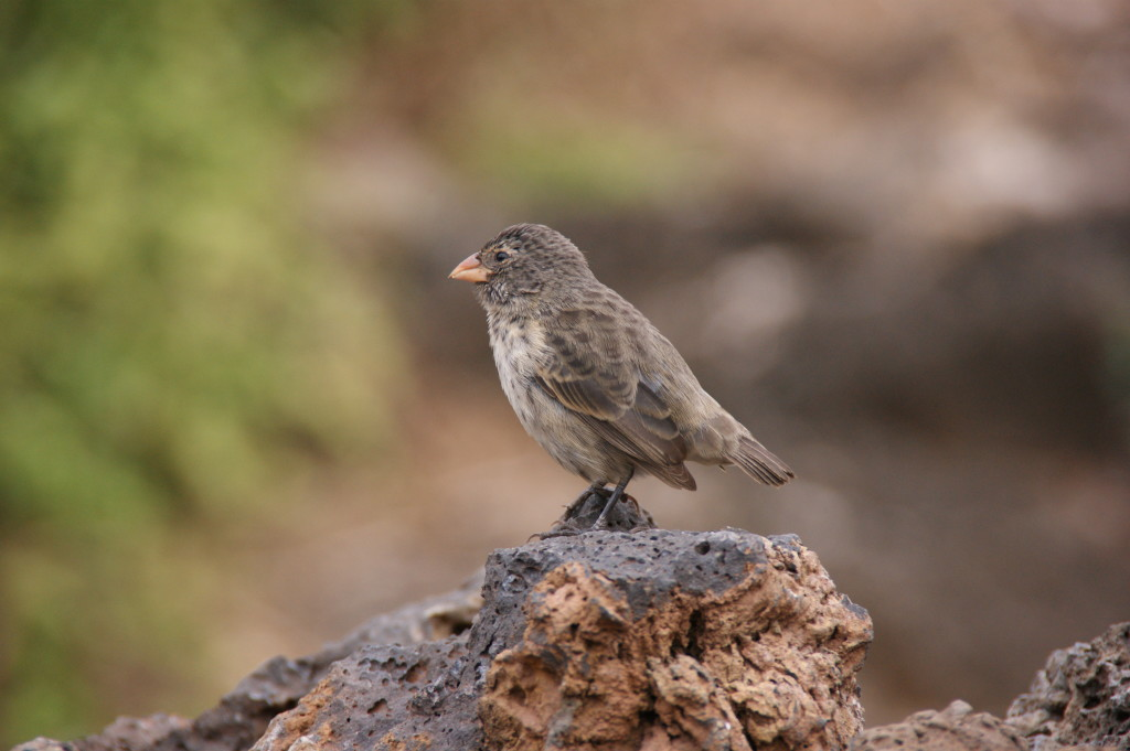 One of the Galapagos Finches