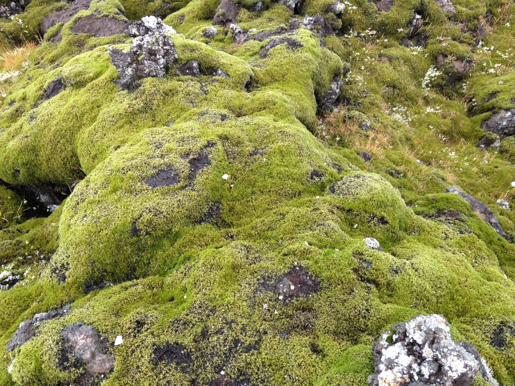 Extensive moss (Racomitrium) covering outcrops at a basaltic lava field