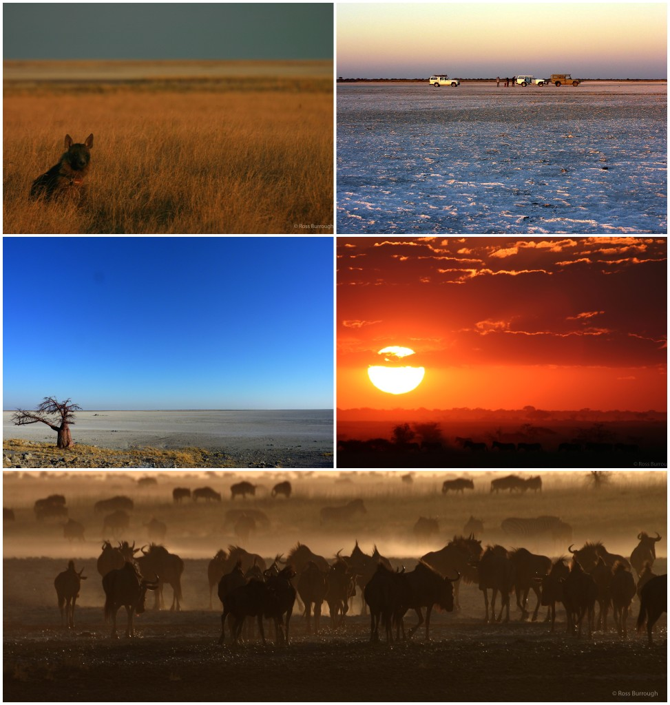 Top left: Venus, a brown hyena going about her daily business in the old lake bed, she was collared as part of a research project attempting to establish more about these little known elusive creatures (photo by Ross Burrough).  Top right: Sundowners with friends and researchers on the pan.  Middle left: Kubu Island, with its iconic baobab trees dating the high-water mark here to > 3000 years. Right and bottom: The migration of thousands of zebra and wildebeest into the pan during the wet season, these numbers have vastly reduced over the last 50 years (photos by Ross Burrough).
