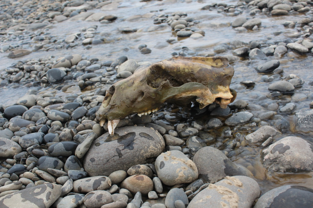The skull of an adult polar bear that we came across in a stream bead on Kongsøya. This is one of three such sites of polar bear remains we came across. During our time on the island we encountered no living bears, while the last group of geologists to work there had over one hundred sightings. It seems that changes in the sea ice pack has greatly shifted the dynamics of this island in the last few decades.