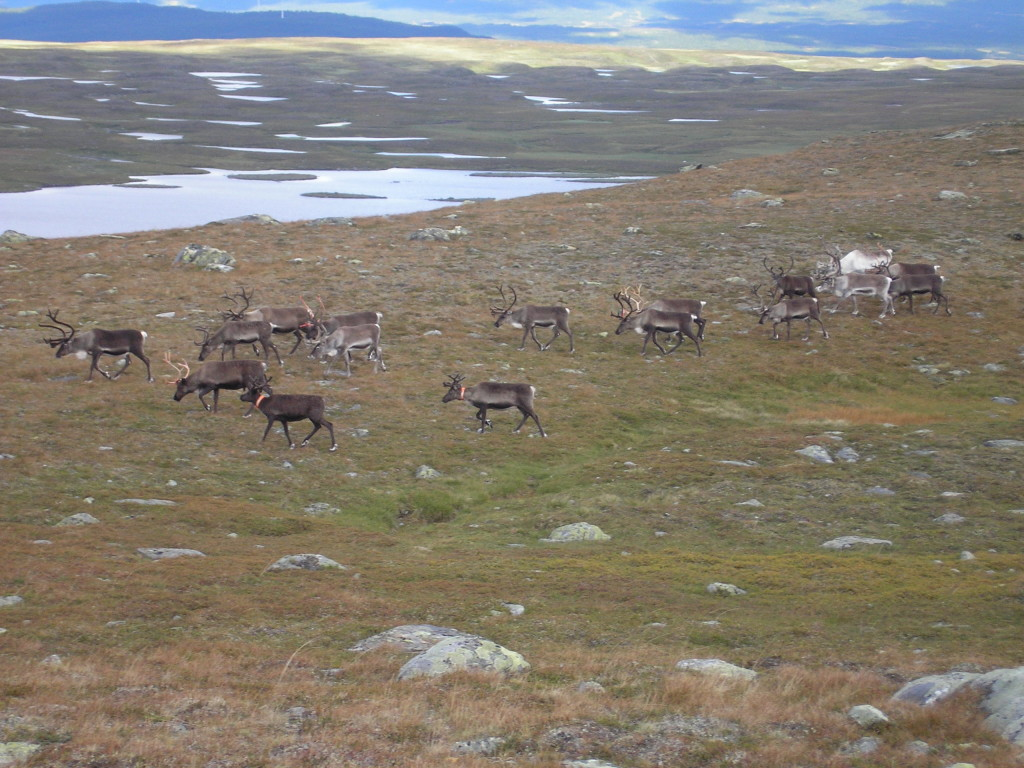 Fig. 5: Little reindeer herd walking on rocks of the Seve Nappe Complex in the Lake Slipsiken area.