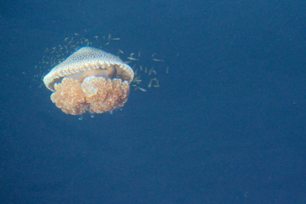 A jellyfish with a shoal of tiny fish sheltering in its tentacles, Andaman Sea.