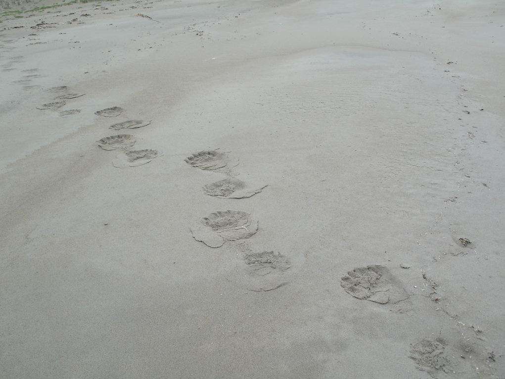 "Figure 17: Polar bear footprints. At that point, we all listened to the ""bear watcher"", a local man whose job was to watch for bears in the area surrounding the campsite and the group when we were out, when he told us to stick together!"