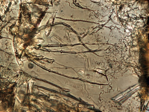 Enhanced depth of focus photomicrograph of tubular microtunnels in basaltic glass rooted on a fracture. Each tunnel is ~1 µm in diameter. Sample is from Black Hills study site. Photo by Matthew Nikitczuk.