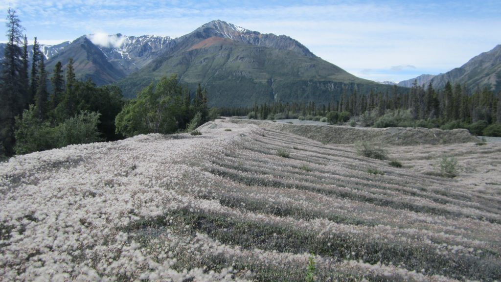 Moraine vegetated with cottongrass west of Kluane Lake.