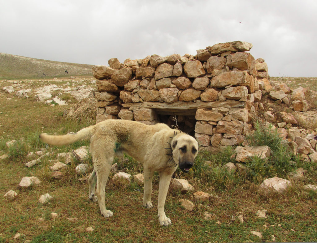 One of the infamous and enormous Kangal dogs guarding the camp.