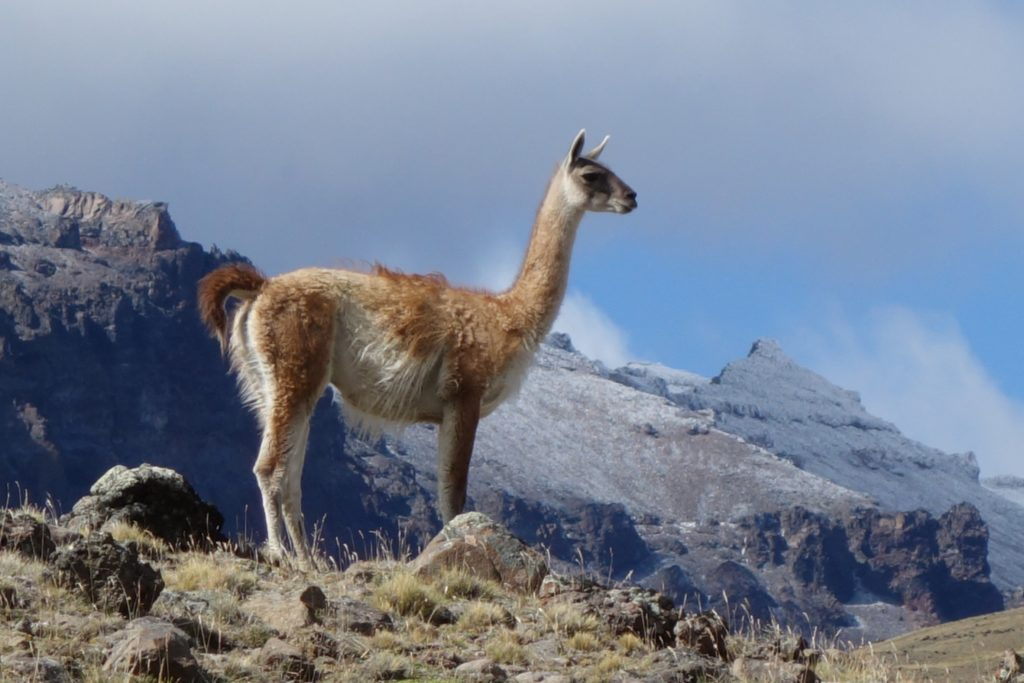 Guanaco! The local Patagonian ungulate, and just one of a host of interesting wildlife we encountered: condor, armadillo, parakeet, ptarmagin, fox, ñandu (like an emu)…