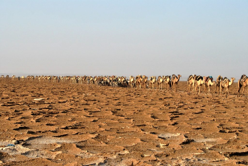 Impressive, kilometre long 'salt-trains' of camels and donkeys that carry salt blocks from the salt crusted desert to the nearest town of Makele.