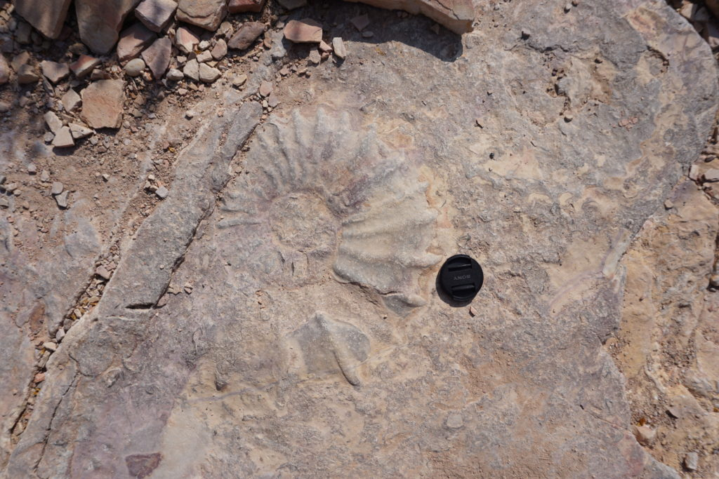 Large Ammonite fossil in the middle of a backcountry trail.